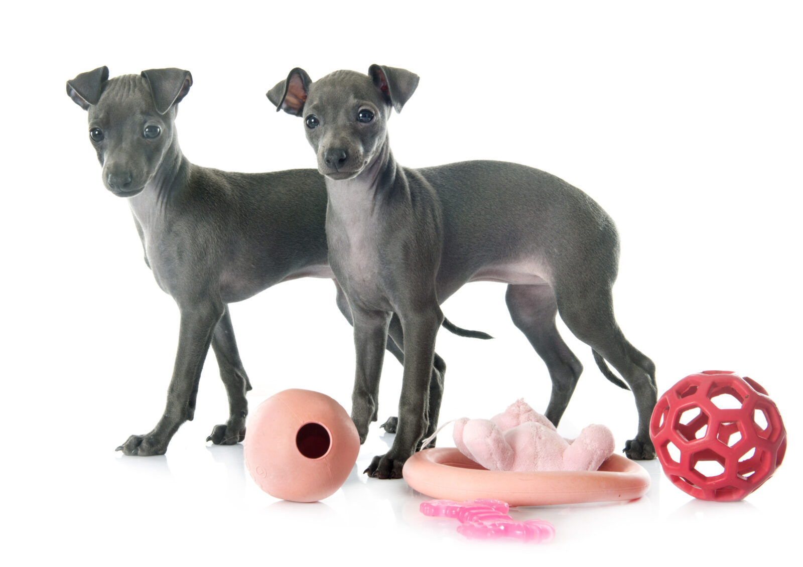 understanding canine body language with different breeds including Italian Greyhound