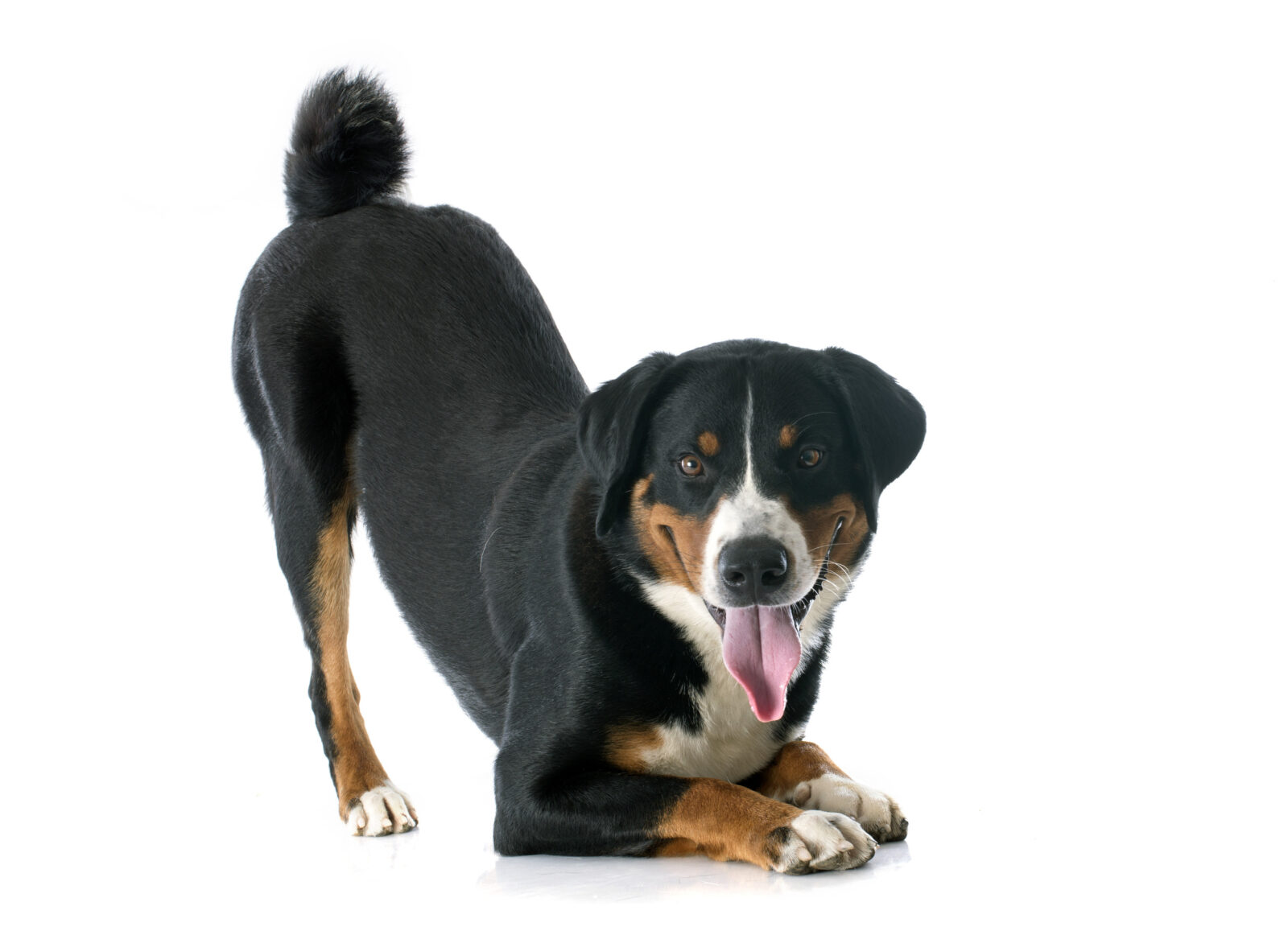 how to understand dog's canine body language including play bow