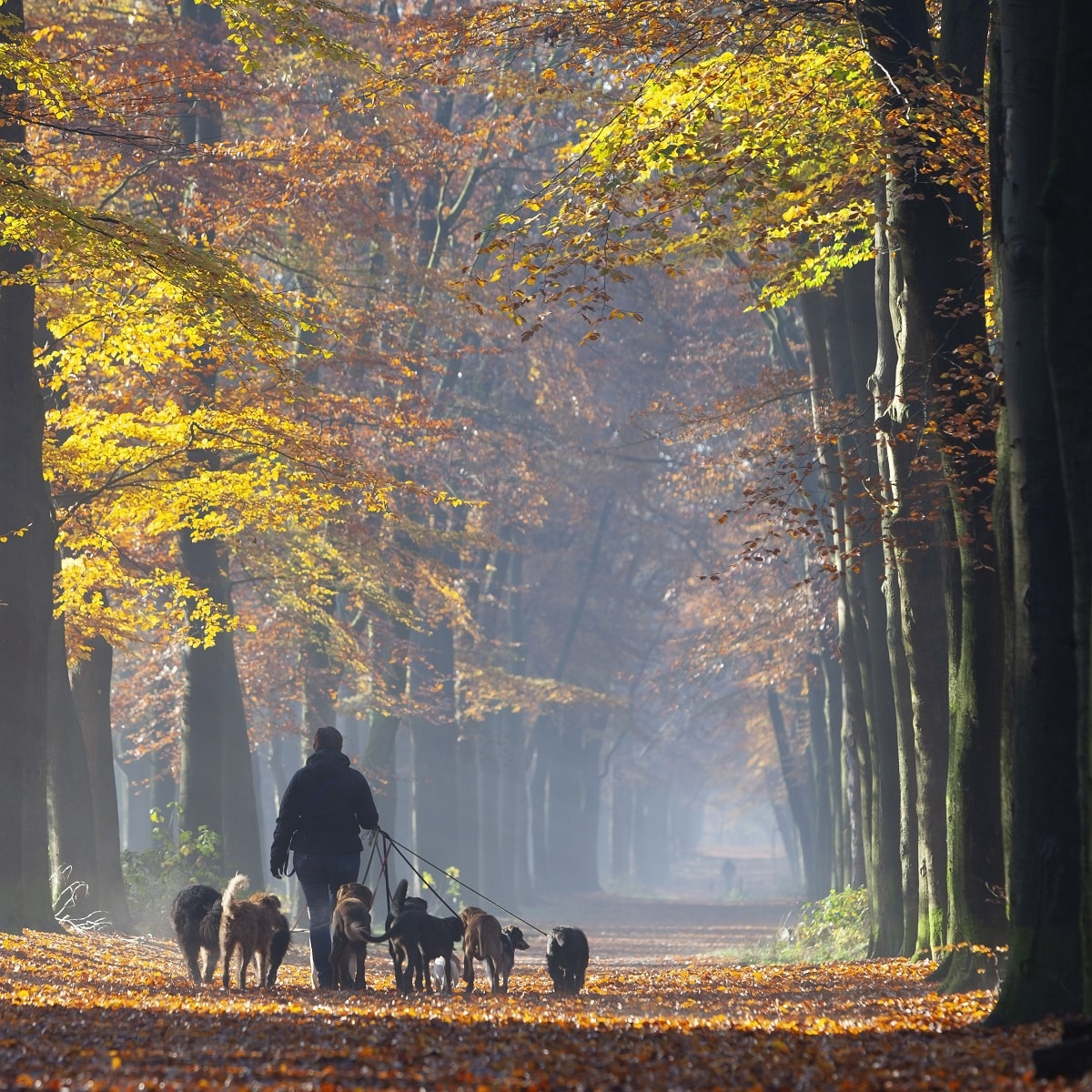 dog pack walking and the benefits